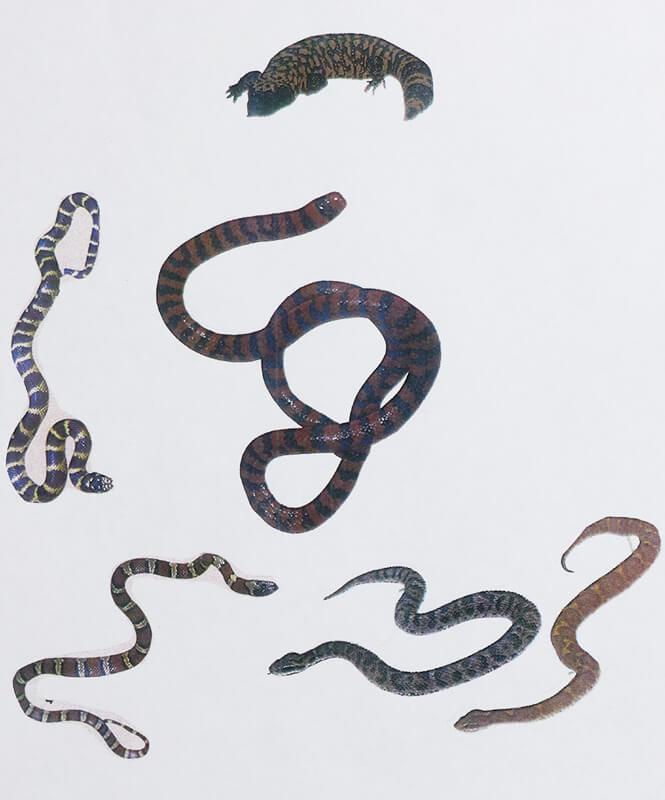 スネークウッドの杢目柄は蛇・豹に似ているか?