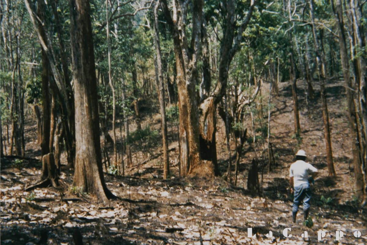 伐採地に入る前のチーク幼年林