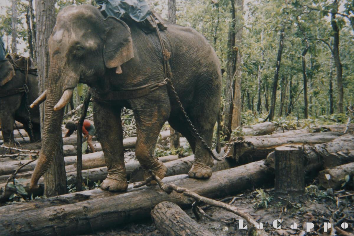 """伐採地での""""象""""使い"""