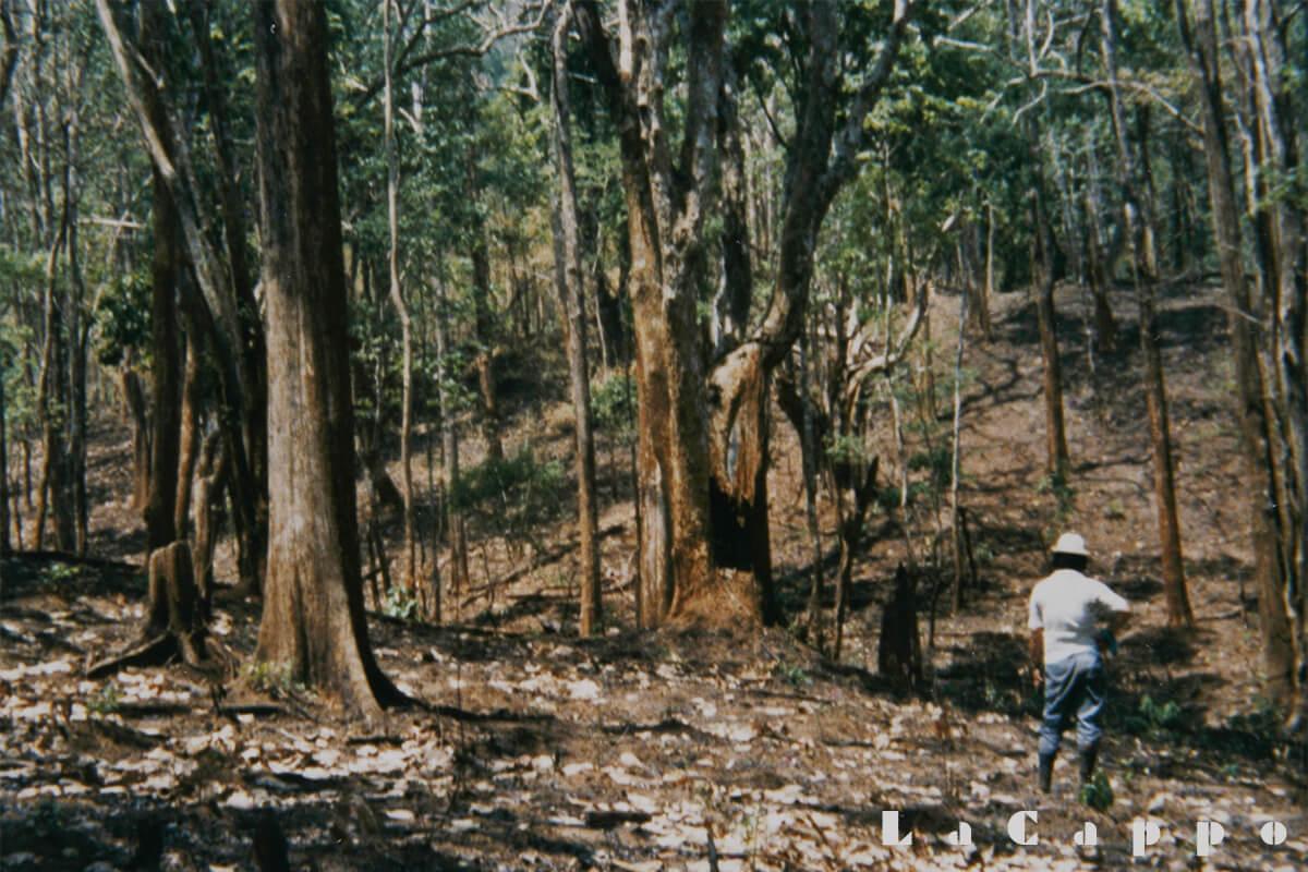 チークの若木は残し中径材を中心に伐採を心掛ける。
