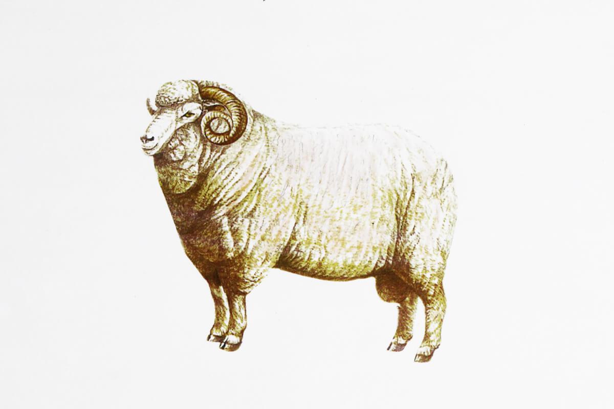 代表的な羊、メリノー