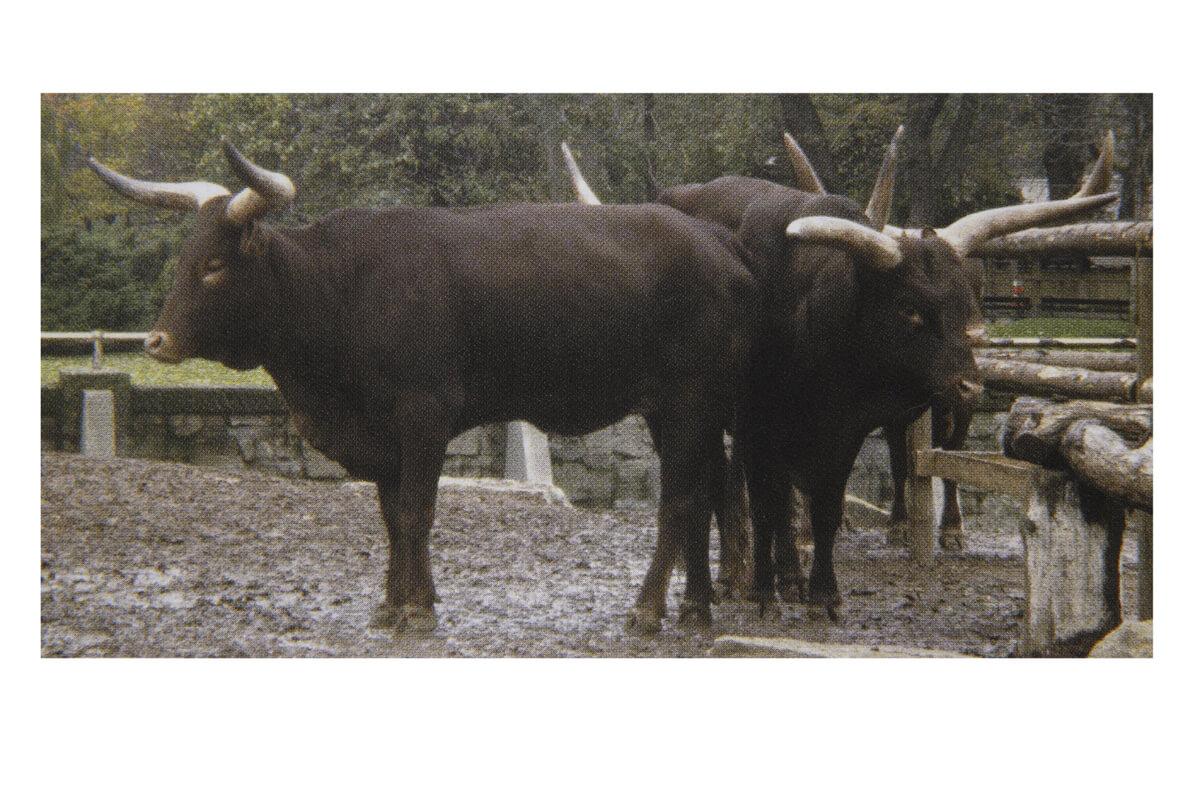 人為的にオーロックスの特徴を持つヨーロッパにいた牛の交配の繰り返しにより生まれたクローン化した牛